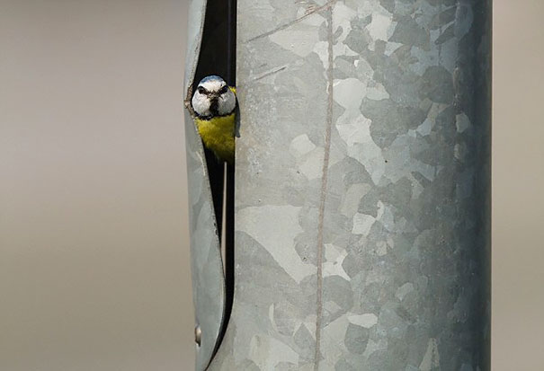 Blue Tit Makes Its House In A Lamp Post