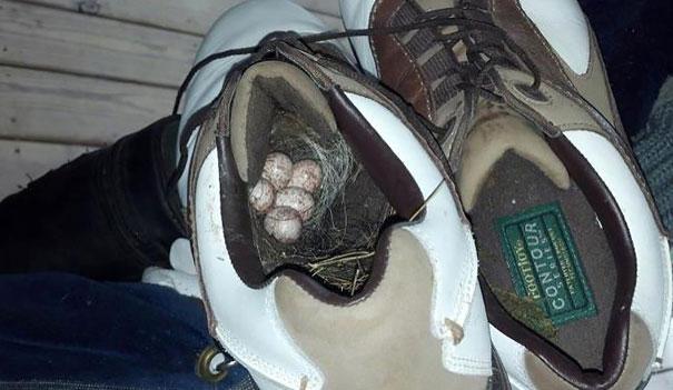 Carolina Wren's Nest In A Golf Shoe