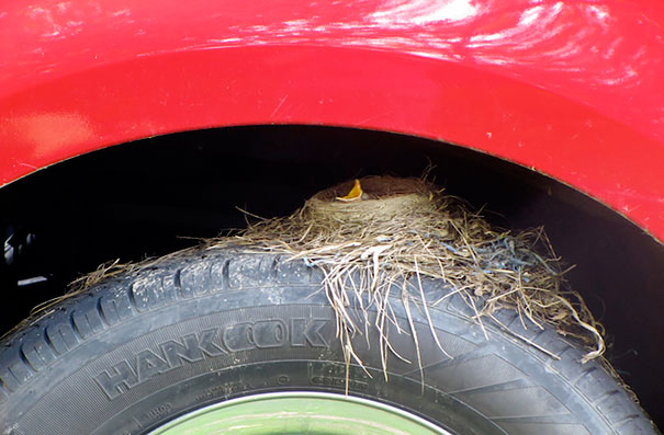 American Robin Nesting On A Truck Tire