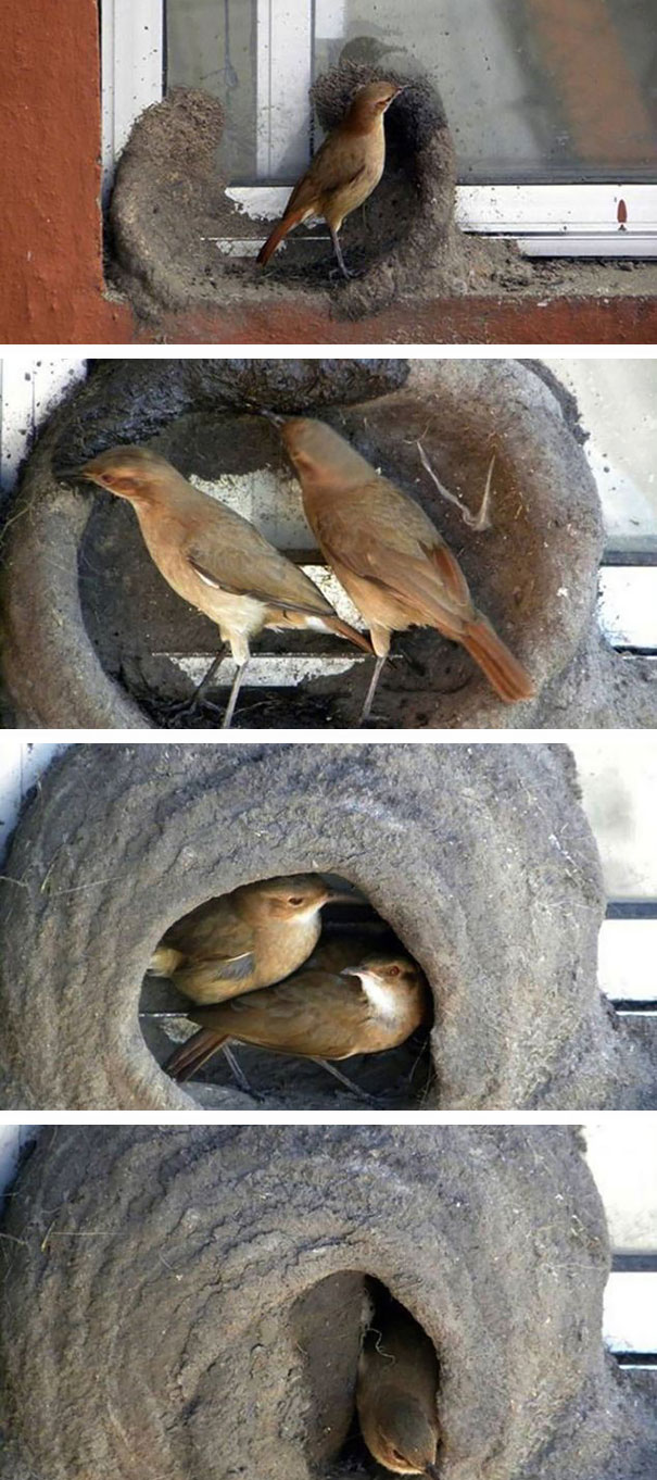 South American Ovenbirds Building Their Nests Out Of Clay Or Mud On The Window