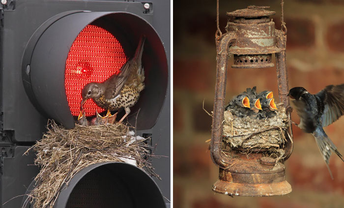 10+ Unusual Bird Nests Built In The  Weirdest Places