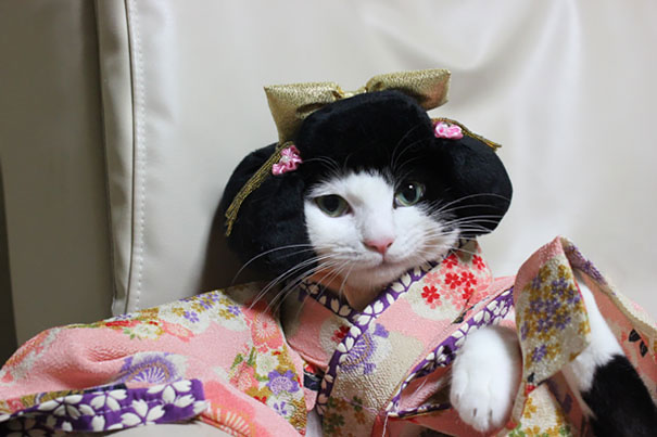 Cats In Kimonos Are A Thing In Japan | Bored Panda
