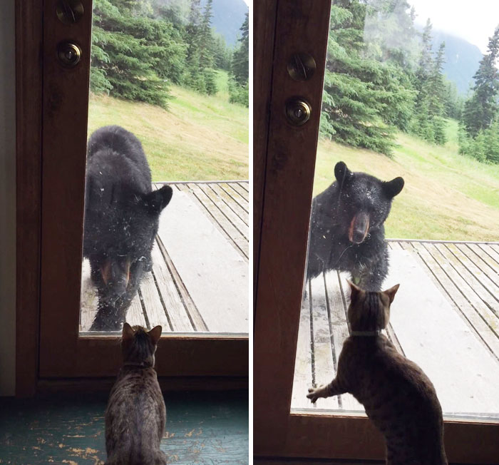Cat Vs. Bear: Wild Bear Tries To Enter A House But Meets A Cat