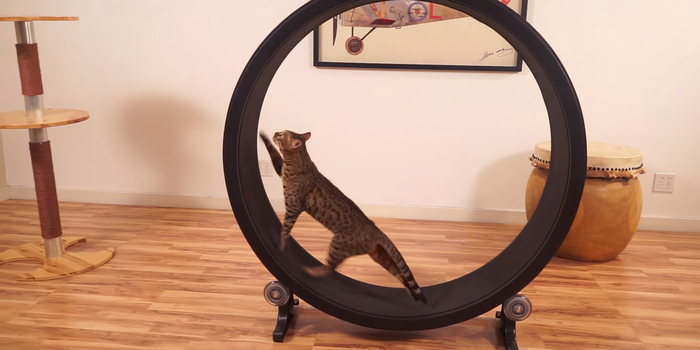 Exercise Wheel For Cats Video