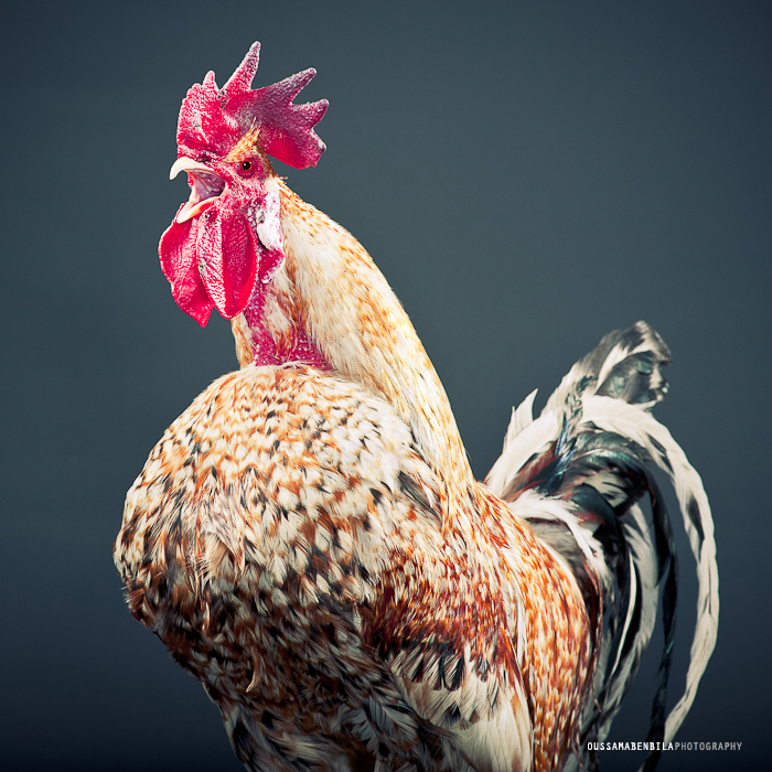 Portraits Of Moroccan Farm Roosters