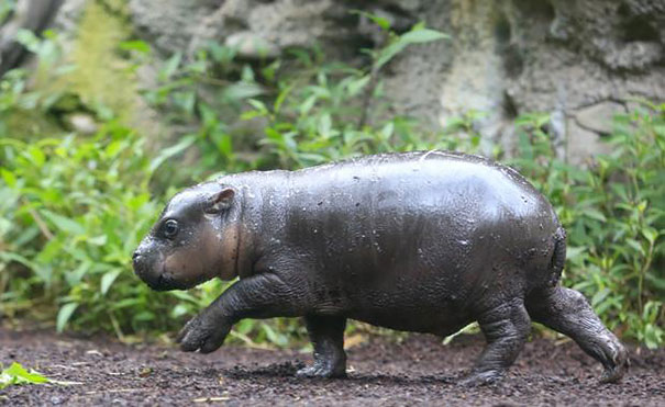 cute-baby-pygmy-hippopotamus-obi-melbourne-zoo-australia-5