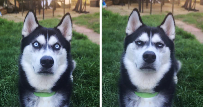 Meme Funny Husky Dogs : Owner pretends to throw ball and captures the exact moment dog