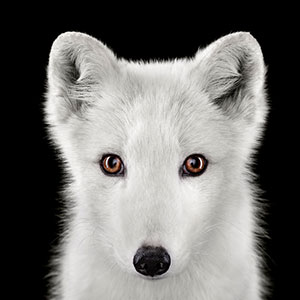I Create Studio Portraits Of Exotic Animals Looking Directly Into The Camera