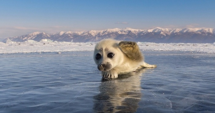 Cute Baby Seal Captured By Russian Photographer Bored Panda
