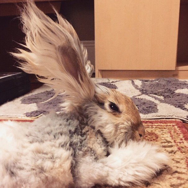 haircut-rabbit-angora-wally-9