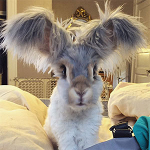 Meet Wally, The Bunny With The Biggest Wing-Like Ears