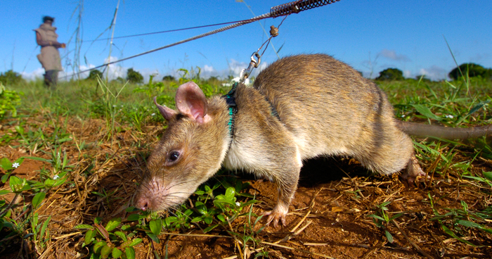 Heroic Rats Sniff Out Landmines In Africa  Could Save 1