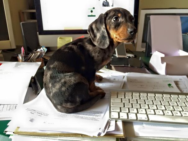 20 собак, которые решили тоже пойти на работу