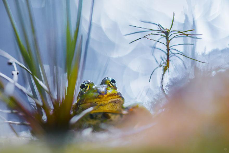 The Edible Frog (aka Common European Frog, Green Frog)