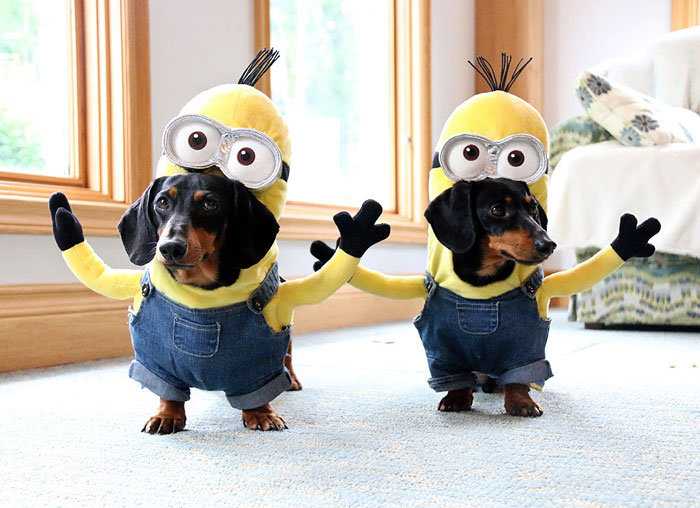 Wiener Dog Minions Look Ridiculously Awesome In These DIY Costumes