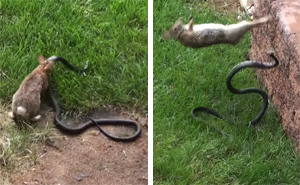 Mother Rabbit Fights Big Black Snake To Protect Its Baby Bunnies