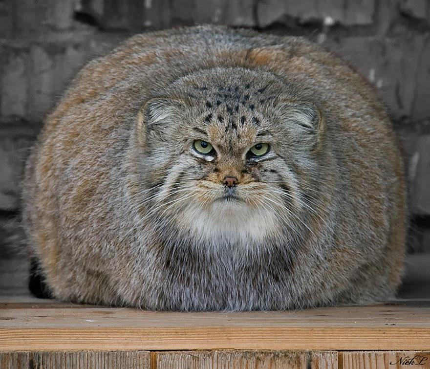 Pallas cat 2
