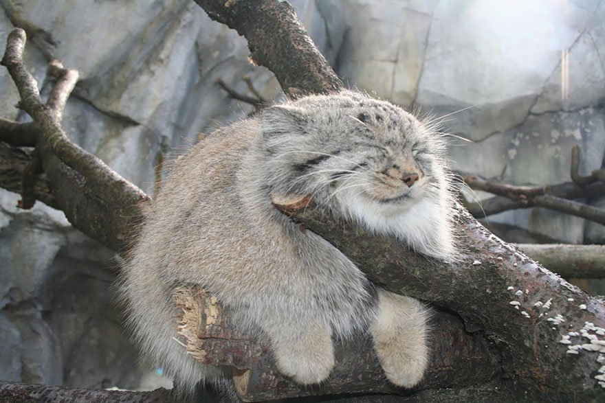 The manul cat is the most expressive cat in the world bored panda pallas cat publicscrutiny Images