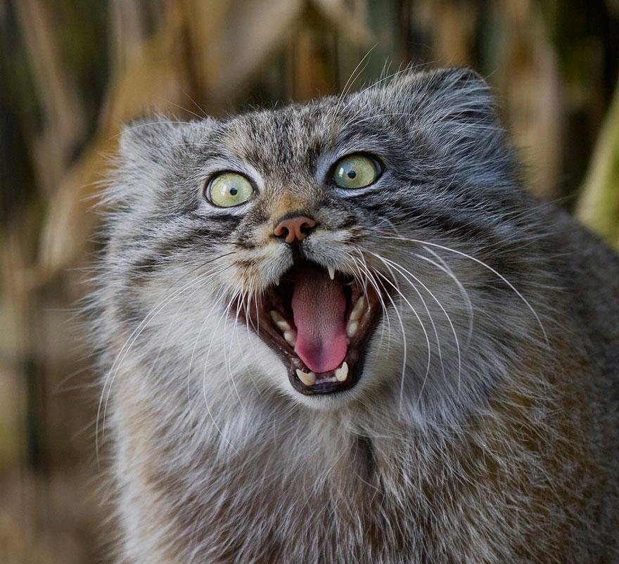 目を丸くして威嚇する猫