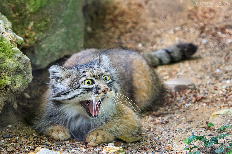 Manul pallas cats wild most expressive cats in the world publicscrutiny Images