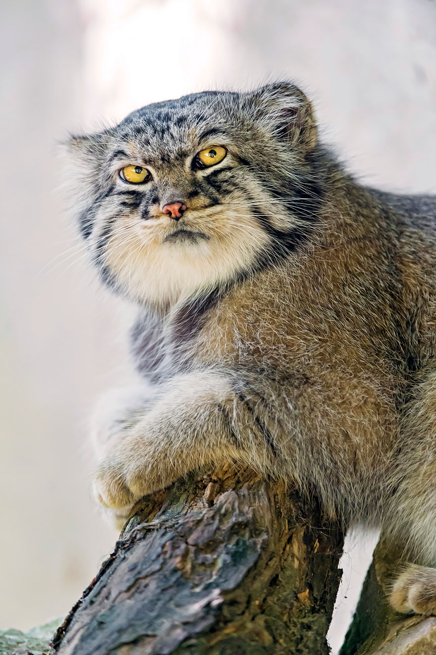 The Manul Cat Is The Most Expressive Cat In The World | Bored Panda