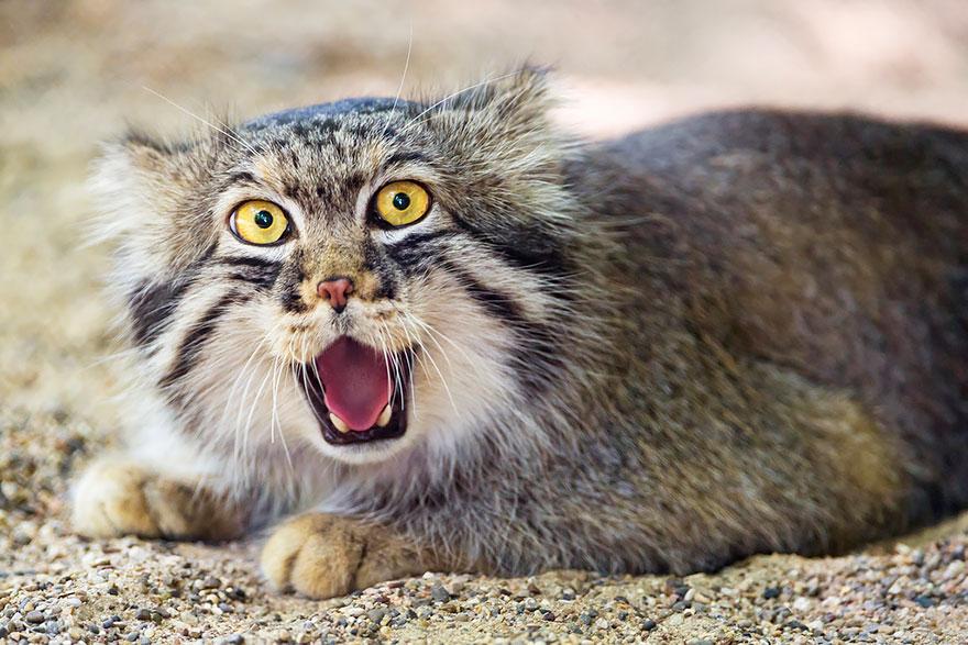 Pallas cat4
