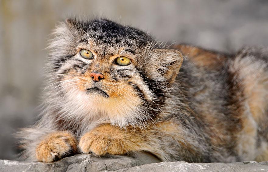 Pallas cat 3