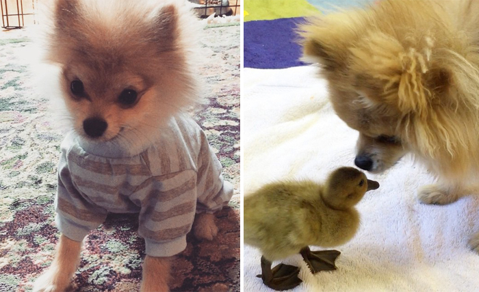 Pom Pom Chewy The Pajama Wearing Puppy