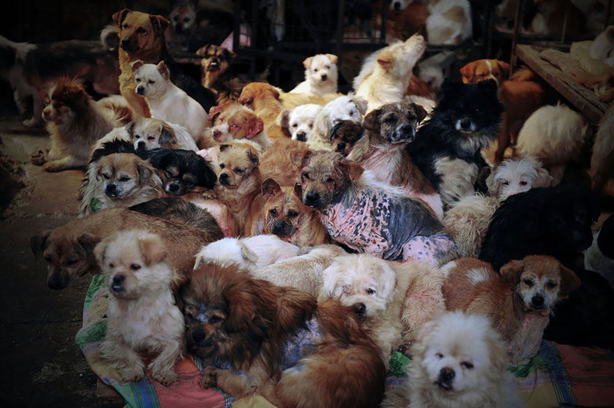 rescued-dogs-yulin-dog-meat-festival-china-4