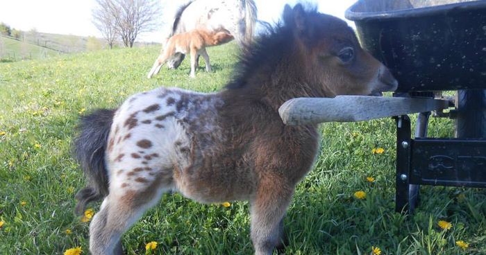 Mini Horses You Dont Want Your Kids To See Bored Panda - Adorable miniature horses provide those in need with love and care