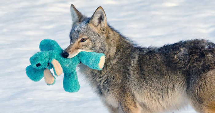 Wild Coyote Finds A Toy And Proves That Wild Animals Are