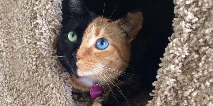 https://static.boredpanda.com/blog/wp-content/uploads/2015/06/two-faced-chimera-cat-venus-fb__700.jpg