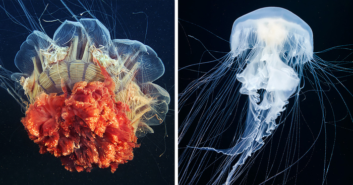 The Alien Beauty Of Jellyfish In Alexander Semenov s New Photos ... e346390294