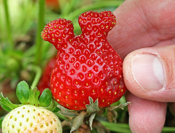This Strawberry Looks Like Mickey Mouse