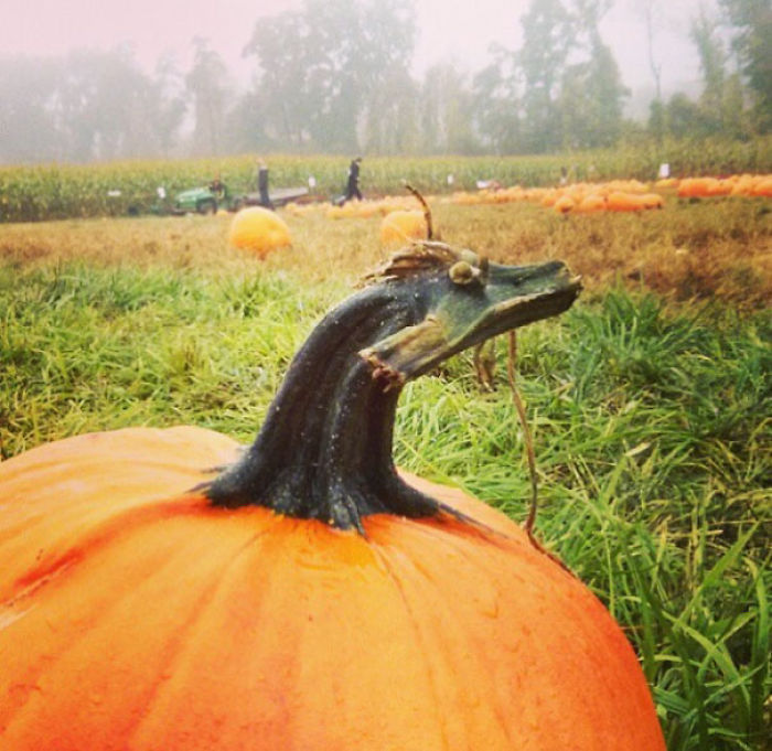 This Pumpkin Stem Looks Like A Dragon!