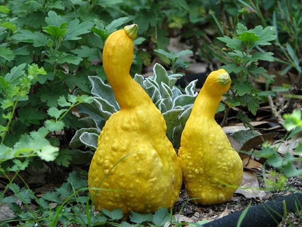Ducky Squash