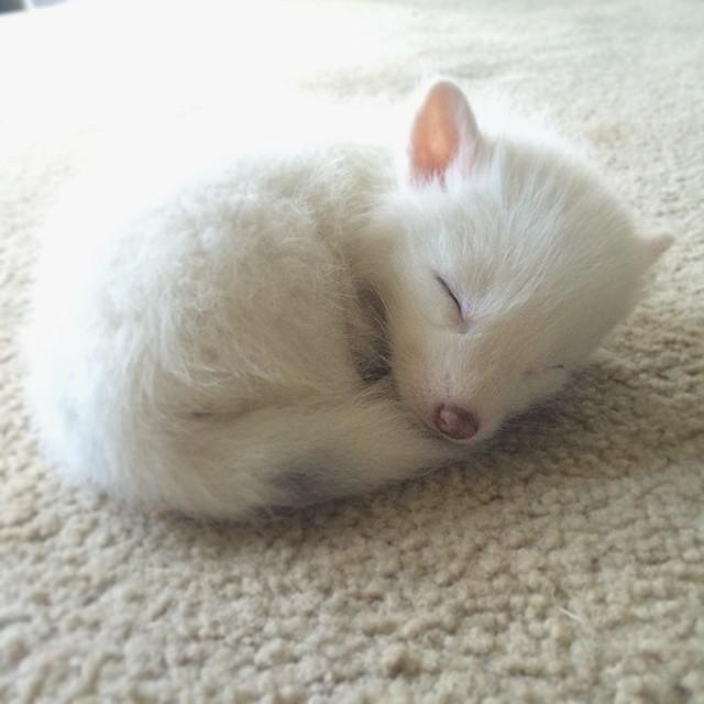 white-fox-cub-rylai-15