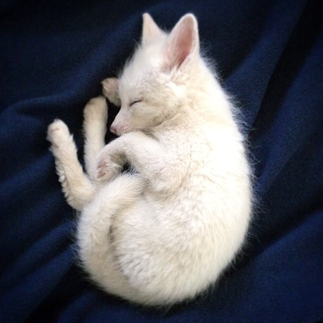 white-fox-cub-rylai-7