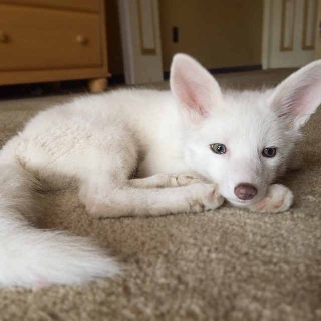 white-fox-cub-rylai-9