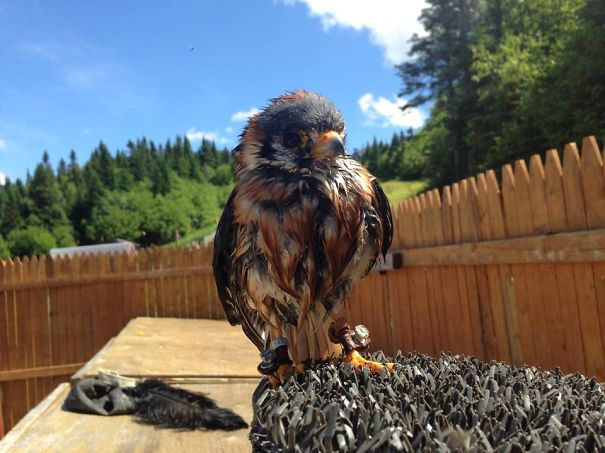 Elvis The Falcon, Drying In The Sun After Taking A Bath
