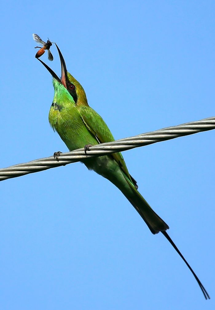 Green Bee-eater Tossing A Bee In The Air Before Eating It.