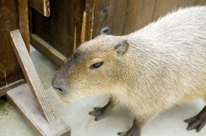 Cat And Rabbit Cafes Make Way – Capybaras Are Big In Japan