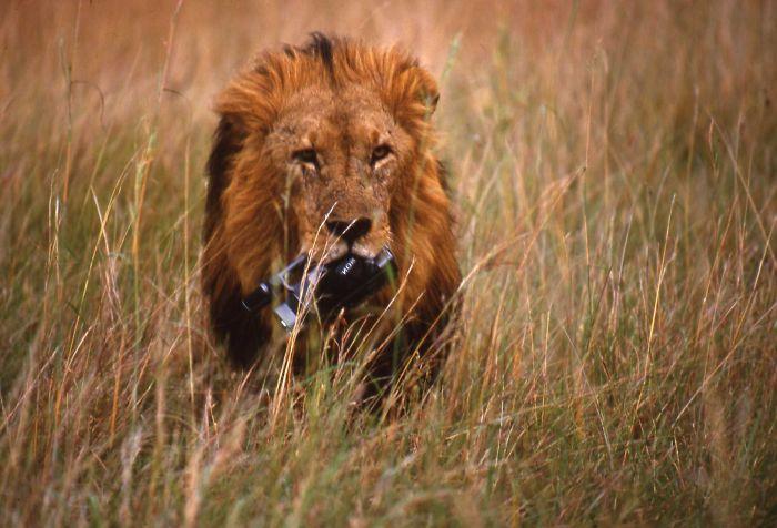 Maisi Mara Lion  1998    A Very Curious Gorgeous Lion                       22reva@gmail.com