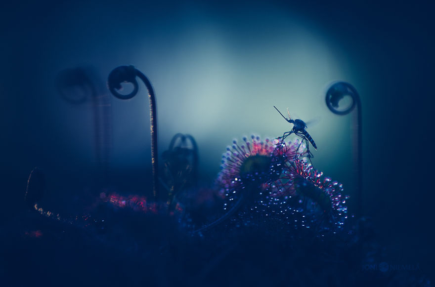 My Macro Photos Of Alien-like Carnivorous Plants Called Drosera
