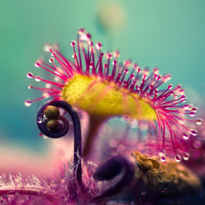 My Macro Photos Of Alien-like Carnivorous Plants Called Drosera