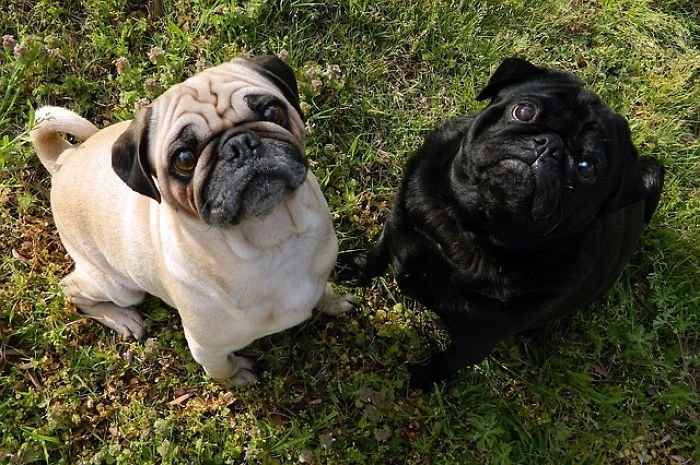 Pugs: Learning More About Them
