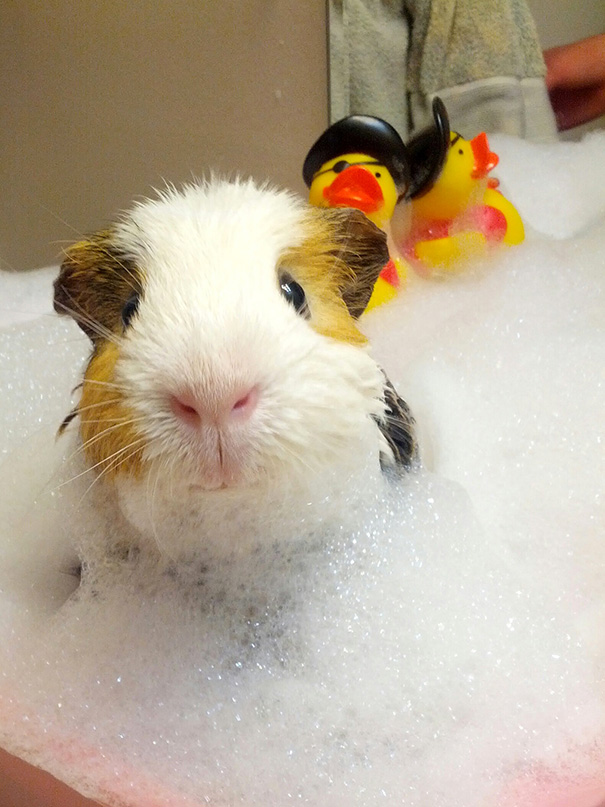 Guinea Pig Taking A Bubble Bath