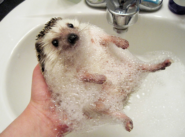 Just A Hedgehog Taking A Bubble Bath