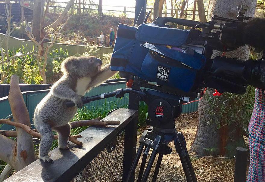Koala With Camera