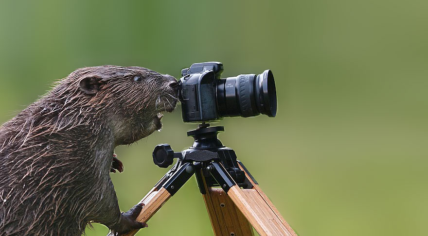 Beaver With Camera